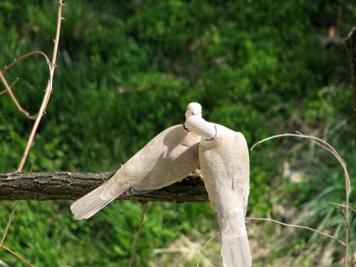 wiosna ... miłość ... #ptaki #gołębie #wiosna #miłość