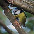 myślała że się przede mną ukryje;) #ptak #sikorka #gałęzie