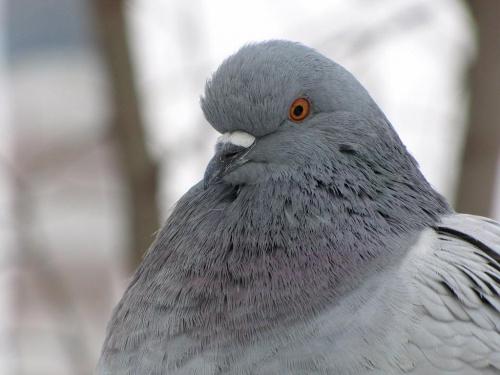 portrecik gołębia 1