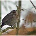 #zima #ptaki #kos