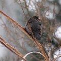 pani kos w ogródku ... #ptaki #kosy #zima #ogród #park