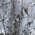 #dokarmianie #sikorki #słonina #śnieg #zima