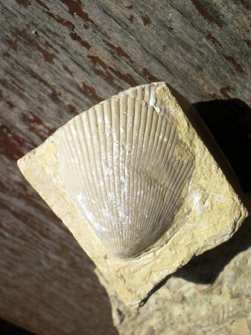 Małż Lima striata . Długość okazu - 3,8 cm . Wiek : trias , wapień muszlowy . Data znalezienia : 2000 . Podarunek . Miejsce znalezienia : Jaworzno .