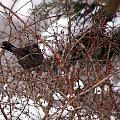 pani kos ... #ptaki #kosy #ogród #zima #śnieg #berberys