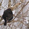 zimy ciąg dalszy ... pani kosowa ... #kosy #ptaki #zima #ogród
