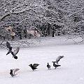 zimy ciąg dalszy ... #ptaki #gołębie #zima #śnieg #WParku