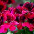 pelargonia #kwiaty #pelargonie #balkon #wiosna