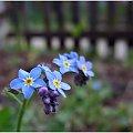 #niezapominajki #kwiaty