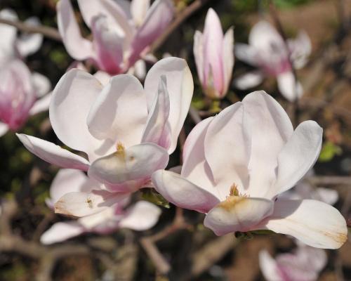 Moja Magnolia