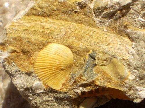 Mszywioł . Długość okazu - 1,6 cm . Wiek : ? Data znalezienia : 2009