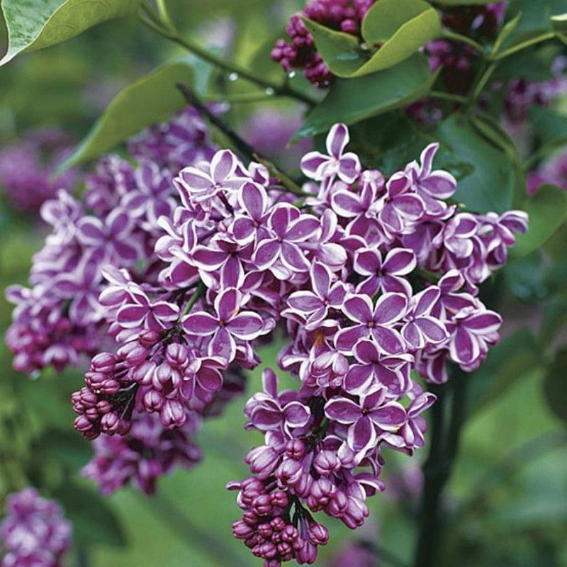 Lilak pospolity 39 sensation 39 syringa vulgaris for Syringa vulgaris