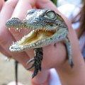 Farma krokodyli - kto się odważy włożyć mu palec do pyska? #krokodyl #afryka #FarmaKrokodyli #mombasa