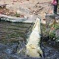 Na farmie krokodyli - zwierzaczek musi się trochę napracować, żeby zdobyć pokarm #krokodyl #afryka #mombasa #kenia #FarmaKrokodyli #tropik