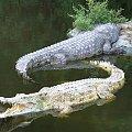 Farma krokodyli - co jakiś czas rodzi się krokodyl albinos #afryka #mombasa #tropik #FarmaKrokodyli #krokodyl