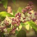 #bez #kwiat #kwiatki #drzewo #ogródek #wiosna #maj