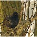 ptak ciernistych krzewów (właściwie drzew) #ptaki #kos