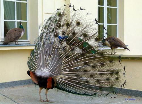 takie piękności też spotkałam w Ogrodzie Dendrologicznym w Przelewicach ... :)) #OgródDendrologiczny #pawie #Przelewice #ptaki