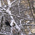 codziennie patrzę na nie z kuchennego okna ... z 4 piętra ... #ptaki #zima #kosy