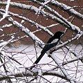 codziennie patrzę na nie z kuchennego okna ... z 4 piętra ... #ptaki #zima #sroki