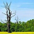 ... #drzewo #las #pole #rzepak #przyroda #krajobraz #wiosna