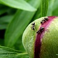 z mojego ogródka ... #ogród #wiosna #kwiaty #piwonie #owady #mrówki