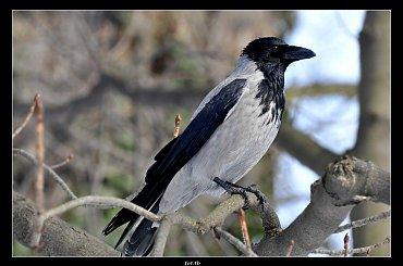 Sesja wrony siwej...