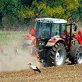 Bocian czeka na wyorane robaki. #ptaki #rolnictwo