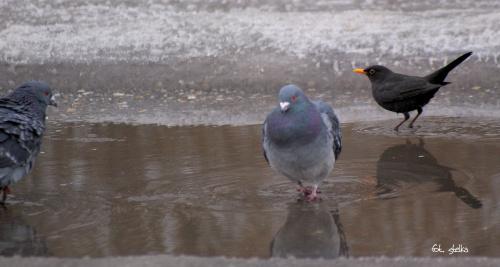ptasia łaźnia ... :)) #ptaki #gołębie #wróble #kosy #kałuża #zima #odwilż