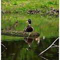 #kaczor #staw #woda #park #ptak #ptaki