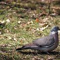 w parku ... #ptaki #gołębie #wiosna #park