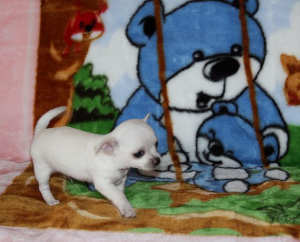 Nasze szczeniaczki #chihuahua #szczeniak