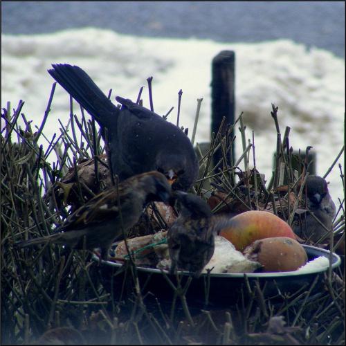 spokój! fotki nie najlepszej jakości, wiem, nie to swiatło:( ale ptaki przechodziły siebie.. no i zapisałam historię.. #wróble #ptaki #PtasieHistorie #kos #dokarmianie