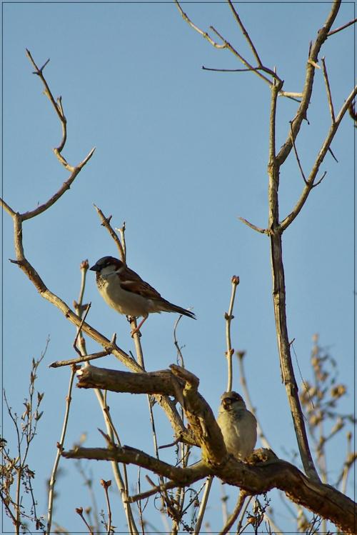 #ptaki #wróble #mazurki