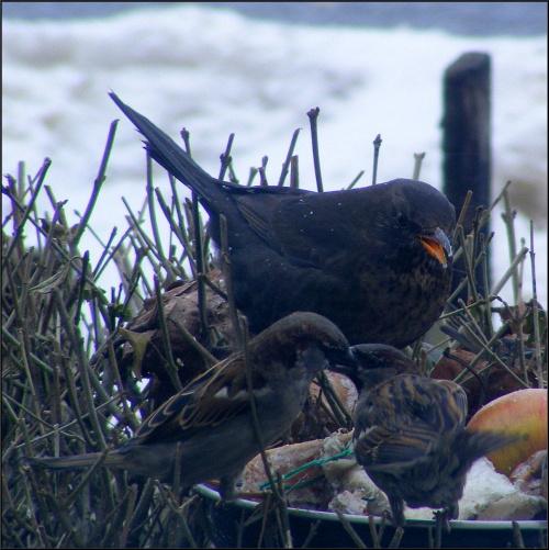 ja tu rządzę..nie namawiać się!.. #wrłble #ptaki #PtasieHistorie #kos #dokarmianie