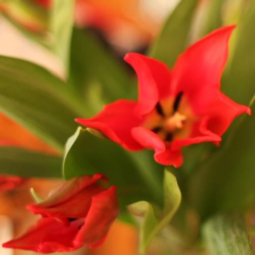 tulipan :) #kwiat #kwiaty #tulipan