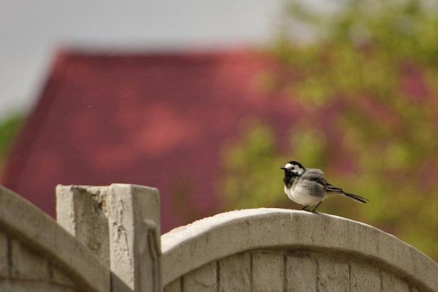 #pliszka #ptaki
