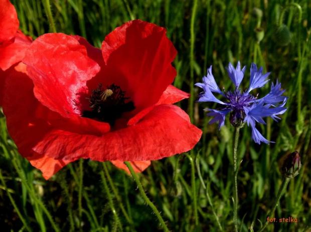 kwiatki różne ... #czerwiec #kwiaty #maki #chabry #łąka #wiosna