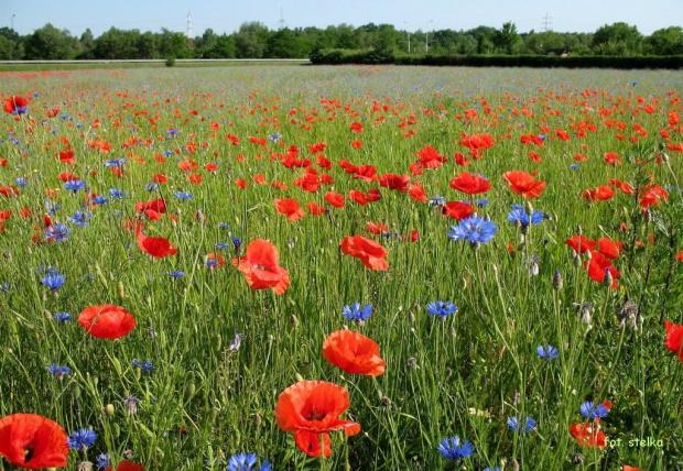 kwiatki różne ... **** ulub. rozalia69 **** #łąka #maki #chabry #czerwiec #kwiaty #wiosna