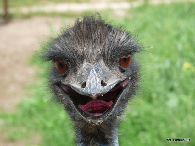 Zalesinek - strusia farma - struś australijski (emu)