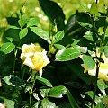 Berolina #róze