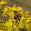 #pszczoły #rzepak