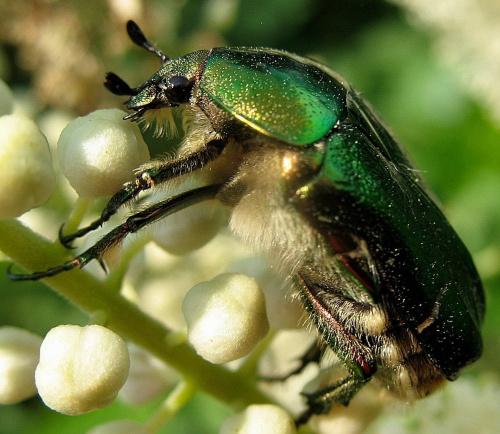 coś dla odmiany ... #owady #makro #żuczek #ogród