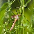 Zaplątany... #arietiss #komar #makro #owady