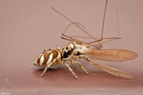 Polowanie... #arietiss #fauna #makro #owady #pająk