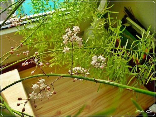 I moj egipski szparagus tez zakwitl...:)))