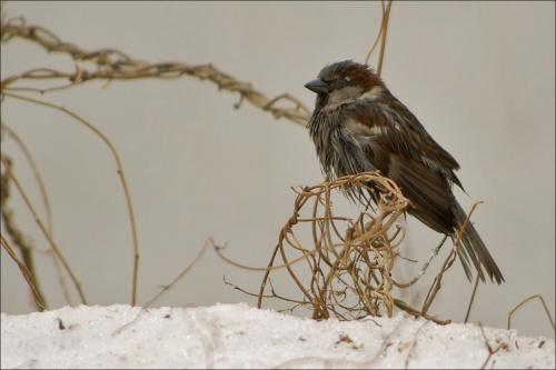 #ptaki #wróbel #mazurek