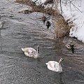 z niedzielnego spaceru ... #rzeka #Kłodnica #woda #ptaki #kaczki #łabędzie #zima