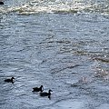 z niedzielnego spaceru ... #rzeka #Kłodnica #kaczki #zima #ptaki