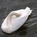 z niedzielnego spaceru ... #ptaki #łabędzie #zima #rzeka #Kłodnica