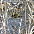 Ampleksus żab jeziorkowych (Pelophylax lessonae). #żaba #ŻabaJeziorkowa